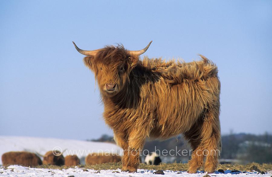 Schottisches Hochlandrind im Winter bei Schnee, Schottische Hochlandrinder, Highländer, Kyloe, Robustrind, Robustrinder, Offene Weidelandschaft, Halboffene Weidelandschaft, Extensive Beweidung der Grünlandflächen, Grünland, Weidefläche, Weideland, extensive Weidewirtschaft, Rinderrasse. Bos primigenius f. taurus. Highland Cattle, Scottish Highland cattle, grassland, grazing land, rangeland, range land, open-range cattle country