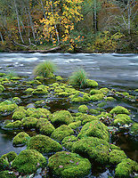 ORCAC_073 - USA, Oregon, Willamette National Forest, McKenzie River, moss-covered rocks and autumn-colored maple.