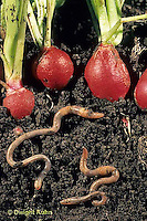 1Y01-088z   Earthworm - soil profile of worms burrowing beneath radishes in garden