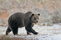 Grizzly Bear (Ursus arctos).  Yellowstone area.  Late Fall.