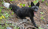 Foxes like this Cascades Fox are common predators of young owls and eggs.