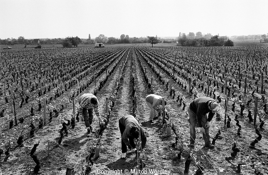 Vineyard workers pruning during winter  in Les Charbonnieres