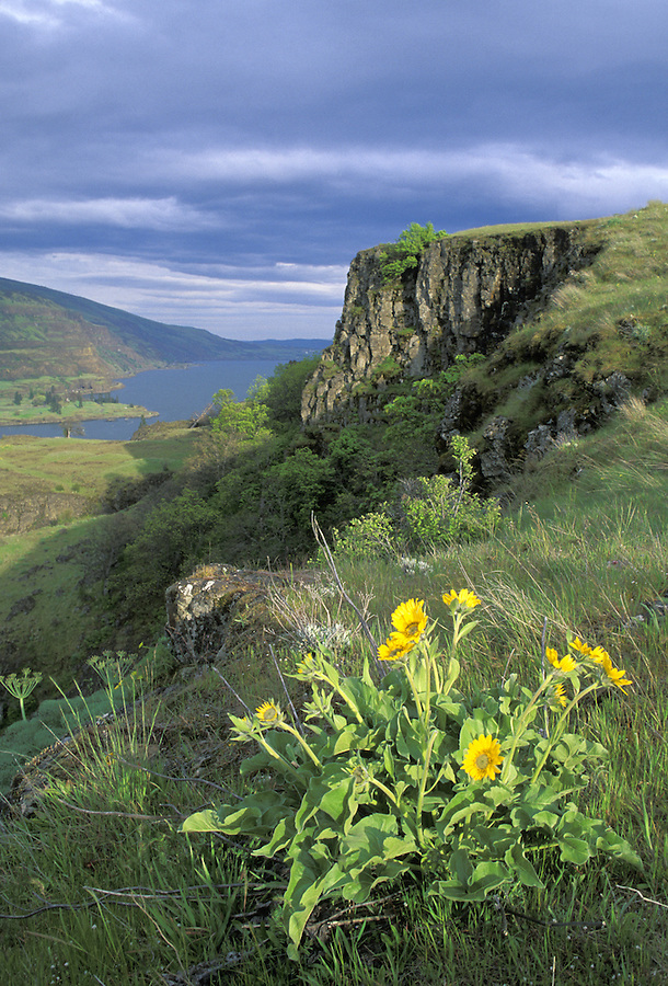 Balsamroot overlooking Columbia River, Mayer State Park, The Dalles, Oregon