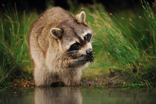 Northern Raccoon (Procyon lotor), adult at night feeding in wetland lake, Fennessey Ranch, Refugio, Coastal Bend, Texas Coast, USA