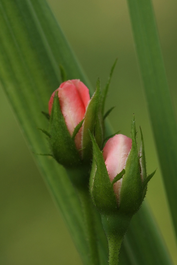 Miniature salmon colored roses set against leaves of the Gladiola plant.