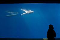 aquarium visitor observing finless porpoises, Neophocaena phocaenoides (c), Indo-Pacific Ocean