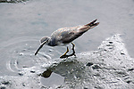 Spotted Greenshanks-Tringa guttifer