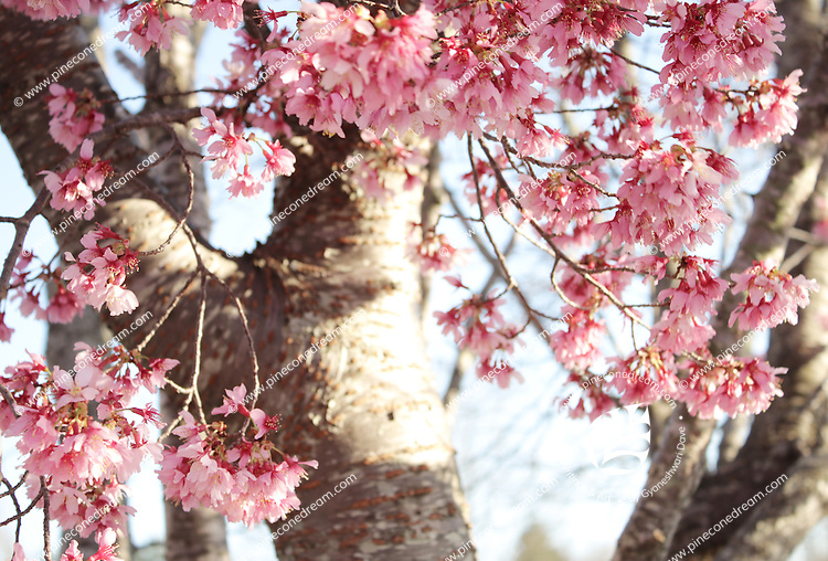 Stock photo - gorgeous cherry blossom flowers stems hanging down from tree in spring.