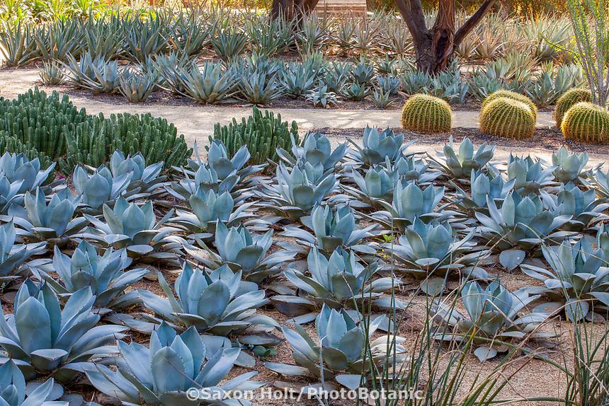 Agave parryi truncata - Artichoke Agave mass planting; Sunnylands garden, Southern California