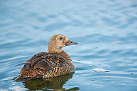 Female spectacled eider swims in a tundra pond in Alaska's Arctic.