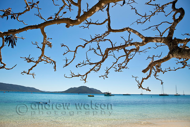 Poinciana tree overlooking the clear waters of Welcome Bay.  Fitzroy Island National Park, Cairns, Queensland, Austtralia