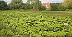 Gunnera tinctoria or giant rhubarb plants growing wild in countryside, Shottisham, Suffolk, England