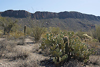"""Saguaro, Carnegiea gigantea, growing in shelter of Engelmann's prickly pear, Opuntia phaeacantha discata. Saguaros often grow under """"nurse plants"""" where shade and moisture provide better conditions for germination.  Saguaro National Park, Arizona"""