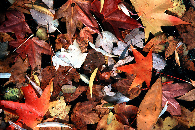 Indian Summer Leaves