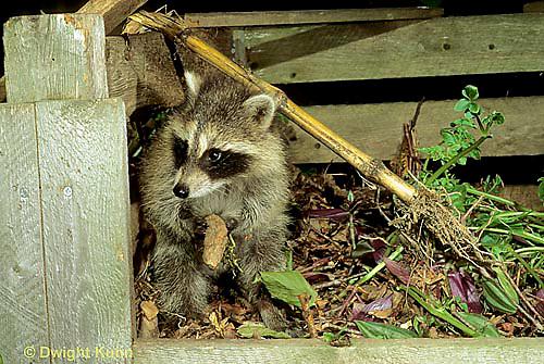 MA22-013x Raccoon - young raccoon exploring compost bin  - Procyon lotor