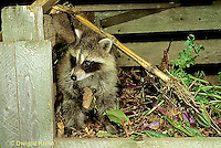 MA22-013x Raccoon - young raccoon exploring compost bin  - Procyon lotor
