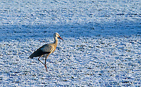 A rare site of a White Stork (Ciconia ciconia)in the winter in Germany they normally migrate to warmer countries like Africa before the winter. A large bird in the stork family Ciconiidae. Its plumage is mainly white, with black on its wings. Adults have long red legs and long pointed red beaks, and measure on average 100&ndash;115 cm (39&ndash;45 in) from beak tip to end of tail, with a 155&ndash;215 cm (61&ndash;85 in) wingspan.<br />
