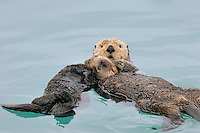 Alaskan or Northern Sea Otter (Enhydra lutris) mother and pup resting/sleeping.
