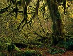 Hoh rain forest moss laden trees backlit lush green foliage Olympic Penninsula Washington State USA
