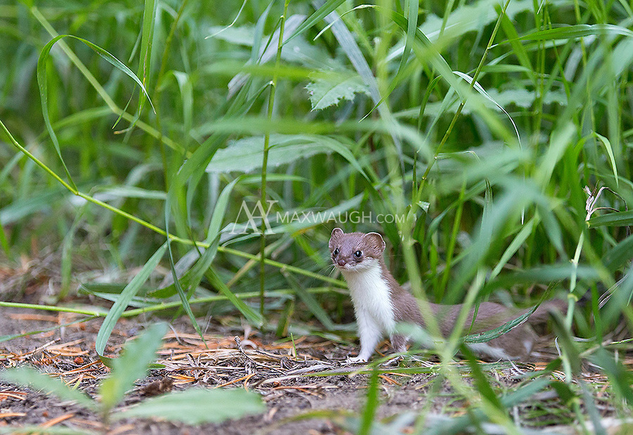 A short-tailed weasel visited our cabin just outside of Yellowstone one summer afternoon.  It was my first time seeing this species.