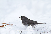 01569-01518 Dark-eyed Junco (Junco hyemalis) feeding in on ground in winter, Marion Co., IL