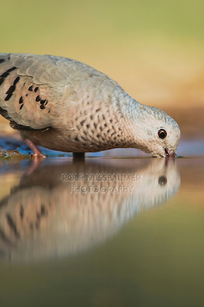 Common Ground-Dove, Columbina passerina, adult drinking, Rio Grande Valley, Texas, USA