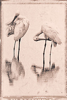 A pair of Roseate Spoonbills, preening in a pond, Photographed on TMAX 3200 black and white film, Merritt Island, Florida, 1995, (Photo by Brian Cleary/bcpix.com)