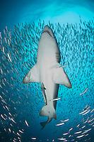 Sandtiger shark, Carcharias taurus, on the wreck of The Spar, Morehead City, North Carolina, USA, Western North Atlantic Ocean.