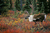 Barren-ground Caribou in birch, willows & black spruce. .Denali National Park, Alaska..Autumn. (Rangifer tarandus granti).