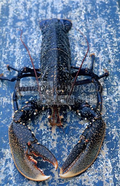 """Europe/France/Bretagne/29/Finistère/Le Conquet: Pêche au homard bleu de Bretagne sur le """"Louarn Ar Mor"""""""