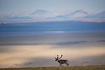 Caribou, Arctic National Wildlife Refuge, Alaska, USA