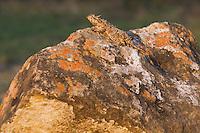 Texas Horned Lizard (Phrynosoma cornutum), adult, Rio Grande Valley, Texas, USA