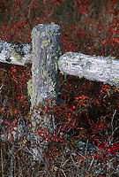 Lichen covered rustic fence with Rosa multiflora (wild Carolina rose) rosehips in autumn fall color, with fence post and rail shaped like a cross. . Rambling roses