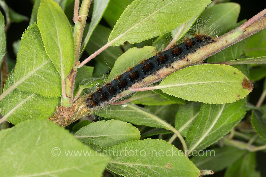 Wollafter, Frühlings-Wollafter, Raupe, Raupen, Eriogaster lanestris, Bombyx lanestris, Small Eggar, caterpillar, caterpillars, bombyx laineux, laineuse du cerisier