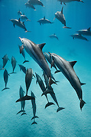 RZ0781-D. Spinner Dolphins (Stenella longirostris), highly variable in appearance, scientists currently recognize four subspecies, often found in large groups. Egypt, Red Sea.<br /> Photo Copyright &copy; Brandon Cole. All rights reserved worldwide.  www.brandoncole.com