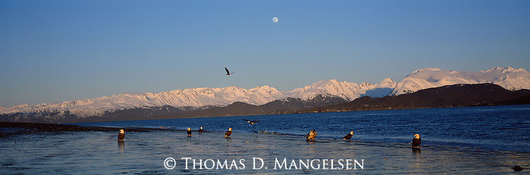 Bald eagles gather on the coast in Southcentral Alaska.