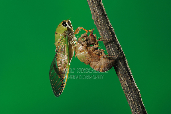 Superb Green Cicada (Tibicen superba), adult newly emerged from nymph skin, New Braunfels, San Antonio, Hill Country, Central Texas, USA