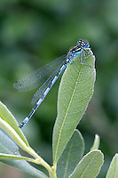 Southern Damselfly - Coenagrion mercuriale