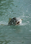 Belize tarpon shoot