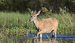 White-tailed doe walking in the water