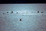 Harbor Seals Following Us