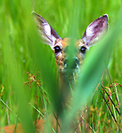 Deer seen in the Esopus Bend Nature Preserve in Saugerties, NY, on Saturday, July 22, 2017. Photo by Jim Peppler. Copyright/Jim Peppler-2017.