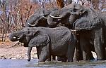 African elephants at watering hole, Chobe National Park, Botswana