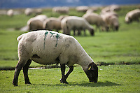 Europe/France/Picardie/80/Somme/Baie de Somme/ Env Le Crotoy: Elevage de moutons de prés salés de la baie de Somme de François Bizet éleveur à Ponthoile