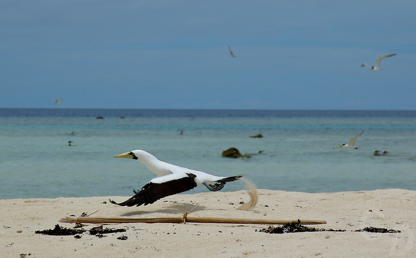 FRIGATE BIRD TAKING OFF,SMALL SANDBANK IN THE PACIFIC BETWEEN CHUUK AND POHNPEI MICRONESIA