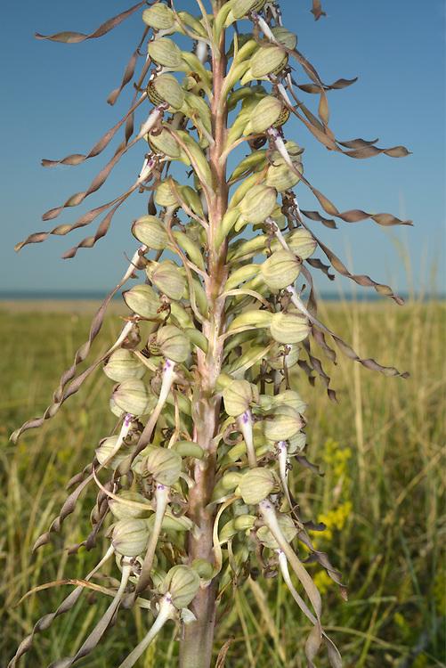 Lizard Orchid - Himantoglossum hircinum