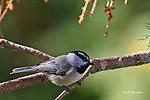 CHICKADEE - mountain chickadee, Poecile gambeli