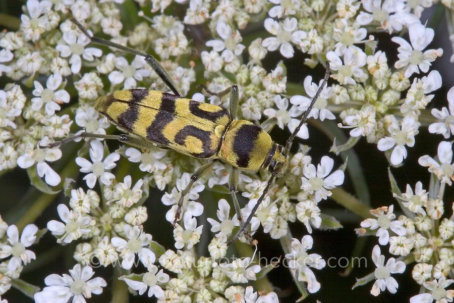 Variabler Widderbock, Veränderlicher Widderbock, Blütenbesuch, Chlorophorus varius, Longhorn beetle