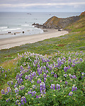 Cape Blanco State Park, OR: Lupine blooming on a hillside overlooking a secluded beach.