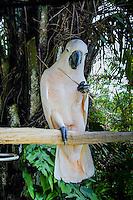 Bali, Gianyar, Batubulan. Moluccan Cockatoo, in Taman Burung, Bali Bird Park.